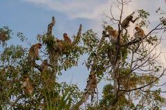 Gruppieren Sie den niederländischen Affen, der auf einem hohen Baum auf Hintergrund des blauen Himmels sitzt Stockfotografie