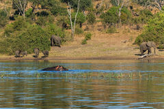 Gruppieren Sie die Elefanten, die Flussflusspferd Afrika gehen und trinken Stockbilder