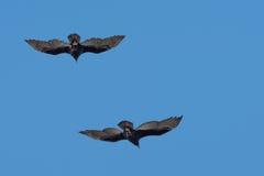 Gruppieren Sie die Od-Bussardgeier, die in den tiefen blauen Himmel fliegen Lizenzfreie Stockfotos