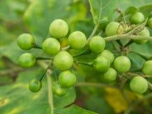 Gruppieren Sie kleines Gemüse von Nachtschatten torvum auf dem Baum Stockfotografie