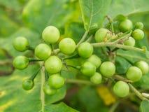 Gruppieren Sie kleines Gemüse von Nachtschatten torvum auf dem Baum Lizenzfreie Stockbilder
