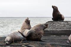 Gruppieren Sie Nordseelöwe (Eumetopias Jubatus) auf Krähenkolonie Kamchat Lizenzfreies Stockbild