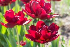 Gruppieren Sie und schließen Sie oben von den dunkelroten weinartigen doppelten schönen Tulpen, die im Garten wachsen Lizenzfreie Stockfotografie