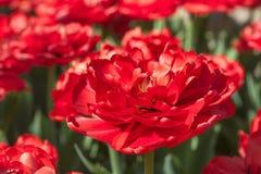 Gruppieren Sie und schließen Sie oben von den dunkelroten weinartigen doppelten schönen Tulpen, die im Garten wachsen Stockfotografie