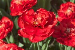 Gruppieren Sie und schließen Sie oben von den dunkelroten weinartigen doppelten schönen Tulpen, die im Garten wachsen Lizenzfreies Stockbild
