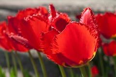 Gruppieren Sie und schließen Sie oben von den dunkelroten weinartigen eingesäumten schönen Tulpen, die im Garten wachsen Stockfotos