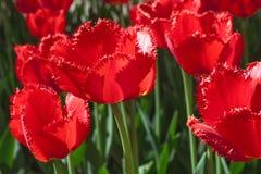 Gruppieren Sie und schließen Sie oben von den dunkelroten weinartigen eingesäumten schönen Tulpen, die im Garten wachsen Lizenzfreie Stockfotos