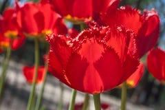 Gruppieren Sie und schließen Sie oben von den dunkelroten weinartigen eingesäumten schönen Tulpen, die im Garten wachsen Lizenzfreie Stockfotografie