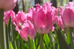 Gruppieren Sie und schließen Sie oben von den eingesäumten schönen Tulpen des Rosas Rose, die im Garten wachsen Stockfotos