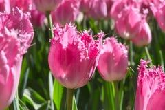 Gruppieren Sie und schließen Sie oben von den eingesäumten schönen Tulpen des Rosas Rose, die im Garten wachsen Stockbild