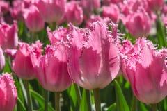 Gruppieren Sie und schließen Sie oben von den eingesäumten schönen Tulpen des Rosas Rose, die im Garten wachsen Lizenzfreie Stockfotos