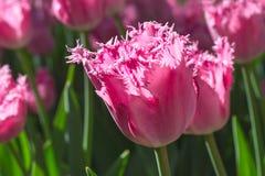 Gruppieren Sie und schließen Sie oben von den eingesäumten schönen Tulpen des Rosas Rose, die im Garten wachsen Stockfoto