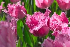 Gruppieren Sie und schließen Sie oben von den eingesäumten schönen Tulpen des Rosas Rose, die im Garten wachsen Lizenzfreie Stockbilder