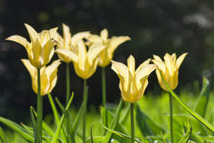 Gruppieren Sie und schließen Sie oben von den Gelb Lilie-geblühten einzelnen schönen Tulpen, die im Garten wachsen Lizenzfreie Stockfotos