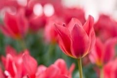 Gruppieren Sie und schließen Sie oben von den Rot Lilie-geblühten einzelnen schönen Tulpen, die im Garten wachsen Lizenzfreie Stockfotos