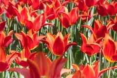 Gruppieren Sie und schließen Sie oben von den rote Orange Lilie-geblühten einzelnen schönen Tulpen, die im Garten wachsen Lizenzfreie Stockfotos