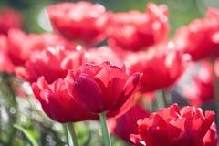 Gruppieren Sie und schließen Sie oben von den roten doppelten schönen Tulpen, die im Garten wachsen Stockbilder