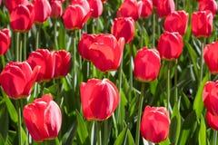 Gruppieren Sie und schließen Sie oben von den roten einzelnen schönen Tulpen, die im Garten wachsen Lizenzfreie Stockfotos