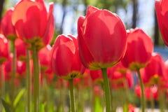 Gruppieren Sie und schließen Sie oben von den roten einzelnen schönen Tulpen, die im Garten wachsen Stockfoto