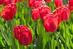 Gruppieren Sie und schließen Sie oben von den roten einzelnen schönen Tulpen, die im Garten wachsen Lizenzfreies Stockbild