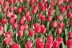 Gruppieren Sie und schließen Sie oben von den roten einzelnen schönen Tulpen, die im Garten wachsen Lizenzfreie Stockfotografie