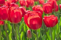 Gruppieren Sie und schließen Sie oben von den roten einzelnen schönen Tulpen, die im Garten wachsen Lizenzfreie Stockbilder
