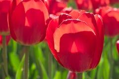 Gruppieren Sie und schließen Sie oben von den roten einzelnen schönen Tulpen, die im Garten wachsen Stockfotografie