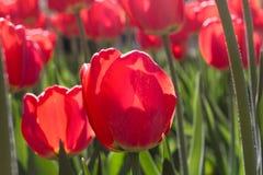 Gruppieren Sie und schließen Sie oben von den roten einzelnen schönen Tulpen, die im Garten wachsen Stockbilder