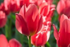 Gruppieren Sie und schließen Sie oben von den roten Lilie-geblühten singlebeautiful Tulpen, die im Garten wachsen Lizenzfreies Stockbild