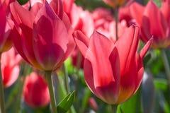 Gruppieren Sie und schließen Sie oben von den roten Lilie-geblühten singlebeautiful Tulpen, die im Garten wachsen Stockbild