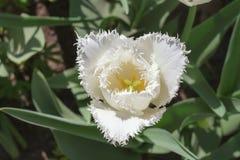 Gruppieren Sie und schließen Sie oben von den Weiß eingesäumten schönen Tulpen, die im Garten wachsen Stockbild