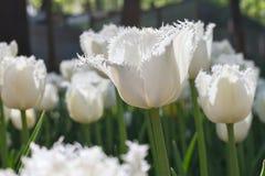 Gruppieren Sie und schließen Sie oben von den Weiß eingesäumten schönen Tulpen, die im Garten wachsen Lizenzfreie Stockfotografie