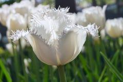 Gruppieren Sie und schließen Sie oben von den Weiß eingesäumten schönen Tulpen, die im Garten wachsen Stockfotos