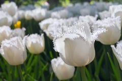 Gruppieren Sie und schließen Sie oben von den Weiß eingesäumten schönen Tulpen, die im Garten wachsen Lizenzfreie Stockfotos