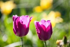 Gruppieren Sie und schließen Sie oben von den weinartigen purpurroten einzelnen schönen Tulpen, die im Garten wachsen Stockfotografie