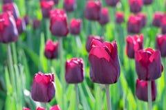 Gruppieren Sie und schließen Sie oben von den weinartigen purpurroten einzelnen schönen Tulpen, die im Garten wachsen Stockfoto