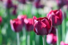 Gruppieren Sie und schließen Sie oben von den weinartigen purpurroten einzelnen schönen Tulpen, die im Garten wachsen Stockbild