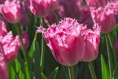 Gruppieren Sie und schließen Sie oben von eingesäumten schönen Tulpen des Rosas Rose Stockfoto
