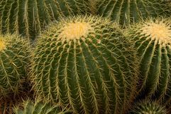 Gruppierter Fass-Kaktus Stockbild