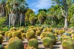 Gruppierung des Fass-Kaktus im tropischen Garten stockbilder