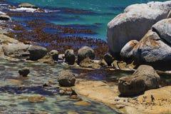 gruppjackasspingvin Arkivfoto