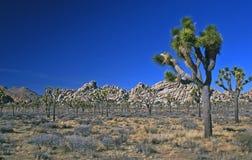 gruppjoshua trees Arkivfoton