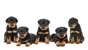 Gruppkull av rottweilerhundvalpar Arkivbilder