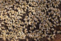 Gruppo - api di lavoro del miele Fotografia Stock