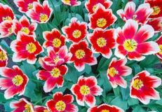 Gruppo con i tulipani rossi e bianchi Fotografia Stock Libera da Diritti