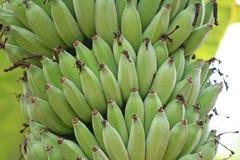 Gruppo crudo delle banane, banana di Pisang Awak immagine stock libera da diritti