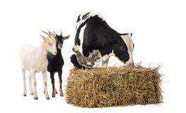 Gruppo degli animali da allevamento che stanno seguenti e su una balla della paglia Immagine Stock