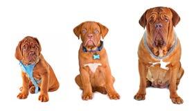 Gruppo dei cani che portano gli accessori differenti Fotografia Stock