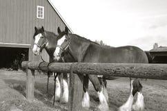 Gruppo dei cavalli belgi (in bianco e nero) Fotografia Stock