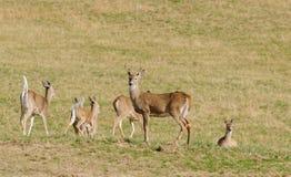 Gruppo dei cervi dalla coda bianca Immagine Stock Libera da Diritti